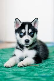 cute husky puppies with blue eyes wallpaper. Plain With Cute Husky Puppies With Blue Eyes In Snow Wallpaper To Wallpaper