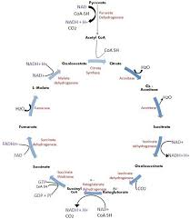 Glycolysis Chart With Enzymes Difference Between Glycolysis And Krebs Citric Acid Cycle