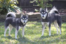 alaskan klee kai size alaskan klee kai info temperament puppies care pictures