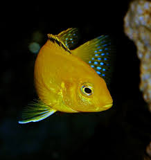 Lake Malawi Cichlids Most Famous Fish Species For