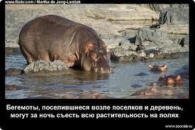Забавные факты о бегемотах фото увлекательные факты про бегемотов  Факты о бегемотах