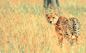 beautiful cheetah wallpapers hd wallpapers