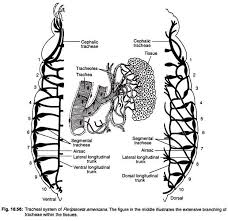 essay on cockroach tracheal system of periplaneta americana