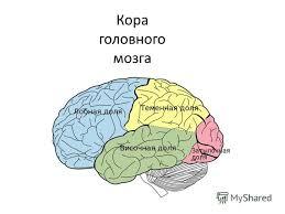РЕФЕРАТ Структурно функциональная организация больших полушарий  Белое вещество головного мозга образовано нервными волокнами связывающими собой кору извилин обеих полушарий и нижележащими образованиями