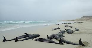 Dolphin Deaths More Than 100 Dolphins Mysteriously Found