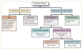 Cns And Pns Chart What Is The Function Of The Sensory Division Of The