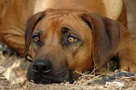 Conjunctivitis in Dogs - Symptoms, Causes, Diagnosis, Treatment ...