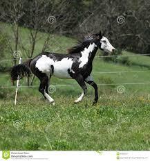 black and white paint horses running. Unique Running Gorgeous Black And White Stallion Of Paint Horse Running With Black And White Paint Horses Running L
