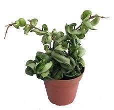 "Hindu Indian Rope Plant - Hoya - Exotic/Easy - 4"" ..."