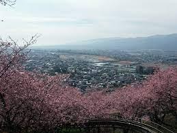 神奈川 松田 町 河津 桜