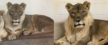 lioness. Modren Lioness PHOTO An 18yearold African Lioness Named Bridget Is Puzzling Zoologists  After With Lioness R