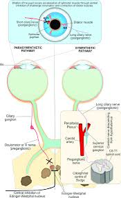 Both Parasympathetic And Sympathetic Nervous Systems Are
