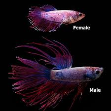 Betta Fish Chart Fw Violet Crowntail Betta Pair