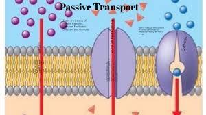 3 Types Of Passive Transport Passive Transport By Hunter Ridgley On Prezi Next