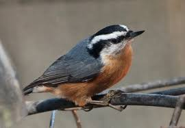 Birder's Eye View: Forecast predicts 3 finch species to fly into ...