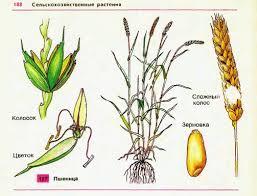 Пшеница важнейшая зерновая культура Гипермаркет знаний Пшеница