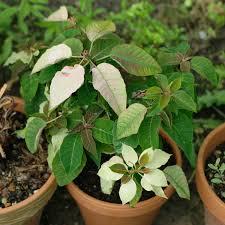 Weihnachtsstern Euphorbia Pulcherrima Pflege