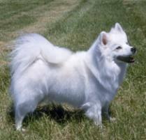 american eskimo dog standard
