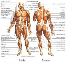 Muscle Chart Template Adorable Best Way To Use This Chart Is To Locate A Muscle And See How It Is