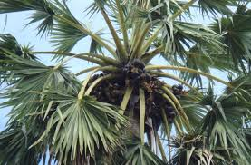 12 Different Types Of Palm Trees Found In India