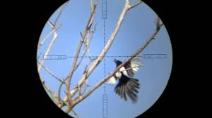 air hunting magpies pest control