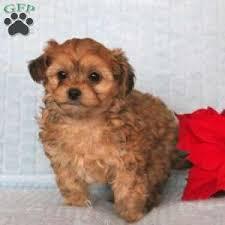 bucky 695 00 quarryville pa shorkie poo puppy