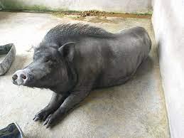 """Asosiasi Ilmuwan Ternak Babi Indonesia - """"bangkung"""" induk babi bali, bulu punggung yg panjang salah satu ciri yg khas disamping punggungnya melengkung kebawah(lordosis).   Facebook"""