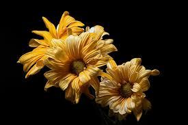 hd wallpaper flowers yellow flowers