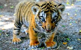 Image result for free blog pics of baby tigers