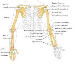 Leg Wikipedia File Human Arm Bones Diagram Svg Wikipedia The Free