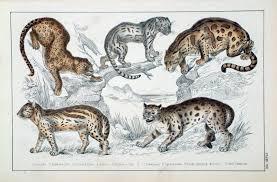 ocelot size antique prints of nature cats