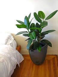 Tall House Plants Low Light Indoor Plants Low Light Part Money Tree Pachira  Aquatica Tolerate Close