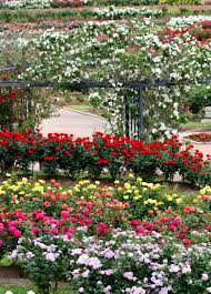 add height to your rose garden with a trellis this example is from the tyler rose garden