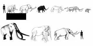 Pygmy Elephants The Book Fossil Pygmy Elephant