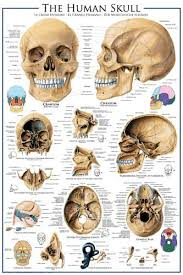 Human Skeleton Wall Chart Anatomy Of The Human Skull Medical Science Wall Chart Poster