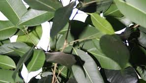 ficus trees can be grown indoors or outdoors