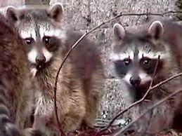 Raccoons In Vending Machine Amazing 48 Baby Raccoons Playing YouTube
