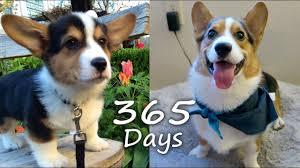 Corgi Puppy Growth Chart Puppyhood In 365 Days A Corgi Puppy Grows Up