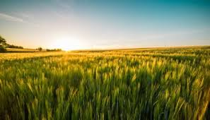 grass field sunset. Sunset Over The Wheat Field Grass T