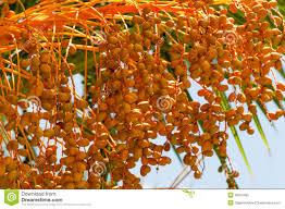 Date Palm Tree With Orange Fruit Stock Photo  Image 51207999Palm Tree Orange Fruit