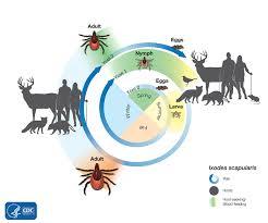 Tick Identification Chart How Ticks Spread Disease Ticks Cdc