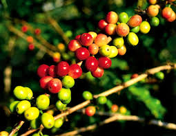 100% pure kona coffee is a rare commodity exclusively grown in north and south kona. Kona Coffee Plantations Big Island Of Hawaii Reviews Pictures Map Visual Itineraries