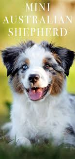 Mini Australian Shepherd Is This The Perfect Little Farm