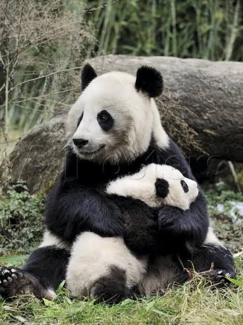 Image result for mom and baby panda""