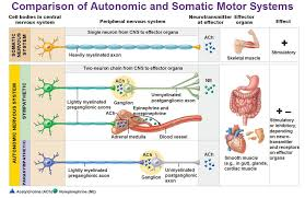 Comparative Functions Of Nervous And Endocrine Systems Chart Comparison Of Autonomic And Somatic Motor Systems Cell