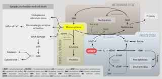 Homocysteine Wikipedia