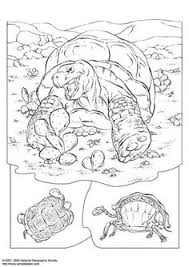 Small Picture Box Turtle Coloring Page coloring book entry for the Eastern Box