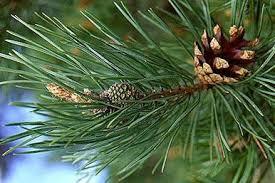 Реферат о хвойном растении класс ДоклаДики доклад про хвойные растения 3 класс