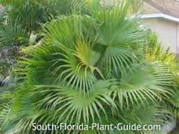 fan palm. fan palm h