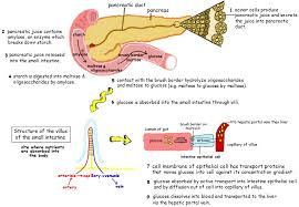 topic 6 1 digestion and absorption